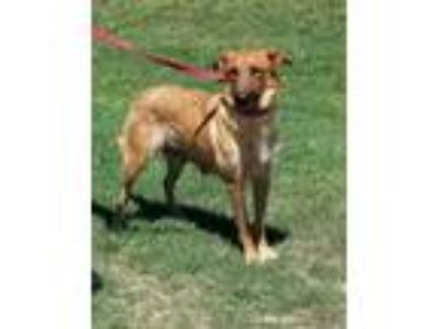Adopt FLOSSIE a Brown/Chocolate Shepherd (Unknown Type) / Mixed dog in Clinton