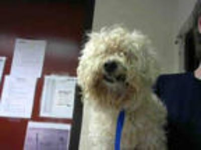 Adopt THESEUS a White Poodle (Toy or Tea Cup) / Mixed dog in Atlanta