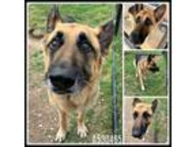 Adopt A530465 a German Shepherd Dog