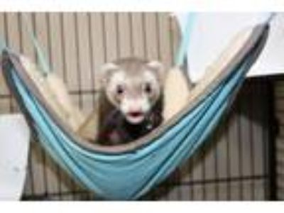 Adopt Ferrah a Brown or Chocolate Ferret (medium coat) small animal in Oxford