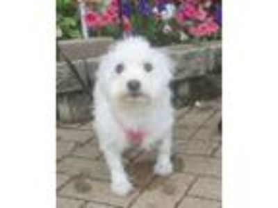 Adopt Zuma a White Havanese / Mixed dog in West Chicago, IL (25903198)