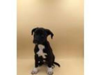 Adopt Cookie a Pit Bull Terrier / Mixed dog in Thousand Oaks, CA (25881943)