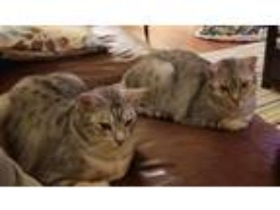 Adopt Nelly & Cricket a Spotted Tabby/Leopard Spotted Ocicat / Mixed cat in