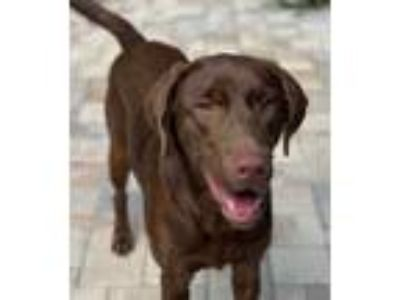 Adopt ABBY GIRL a Labrador Retriever