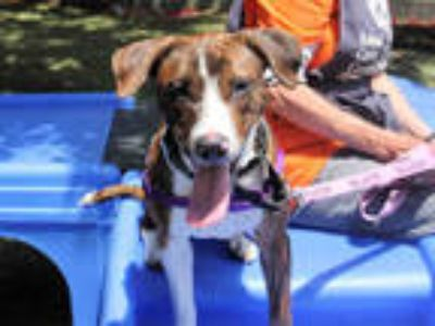 Adopt ROYAL a Brindle - with White American Pit Bull Terrier / Mixed dog in San