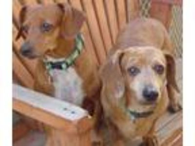 Adopt Rocky and Roy a Dachshund