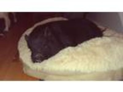 Adopt Isabel a Pig (Potbellied) farm-type animal in Hooksett, NH (25064373)