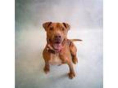 Adopt Pen 178 Simba Hw++ a Pit Bull Terrier