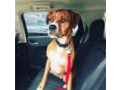 Adopt Howard a Tan/Yellow/Fawn Boxer / Mixed dog in Tulsa, OK (22368581)