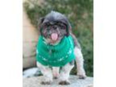Adopt Davie a Shih Tzu / Mixed dog in Port Washington, NY (25302008)