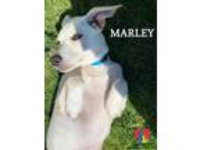 Adopt Marley a Tan/Yellow/Fawn Labrador Retriever / Mixed dog in Grand Island
