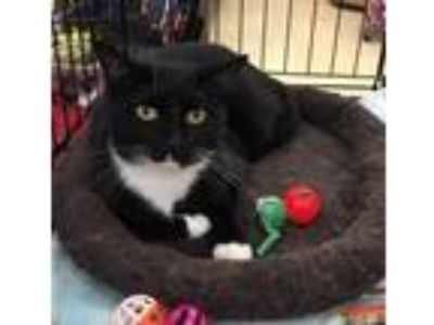 Adopt Lincoln a Black & White or Tuxedo Domestic Shorthair (short coat) cat in