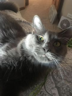 2 year old all grey female cat