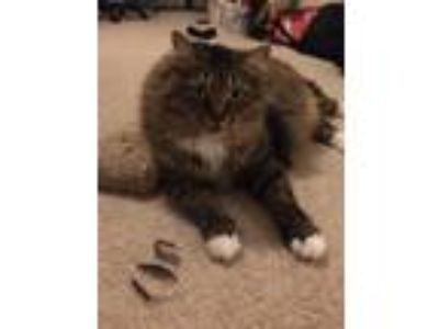 Adopt Ava a Brown Tabby Norwegian Forest Cat / Mixed cat in West Palm Beach