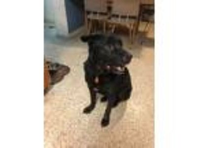 Adopt Max a Black Labrador Retriever / Mixed dog in Orlando, FL (23834911)