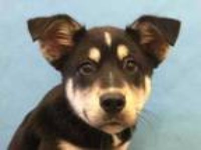 Adopt Charlie B Barkin a Black Husky / Shepherd (Unknown Type) / Mixed dog in
