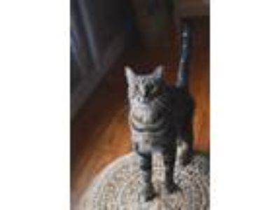 Adopt Tom a Brown or Chocolate (Mostly) Domestic Shorthair (short coat) cat in