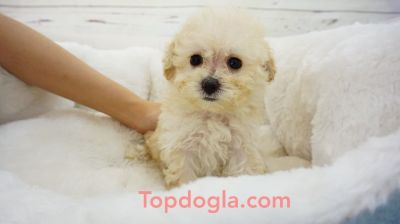 Maltipoo Puppy - Male - TuTu ($1,299)