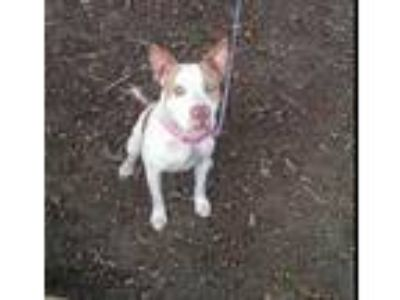 Adopt Dixie a White - with Tan, Yellow or Fawn Pit Bull Terrier / Mixed dog in