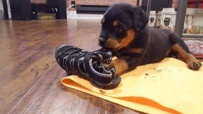 AKC Rottweiler Puppies Due Mid September