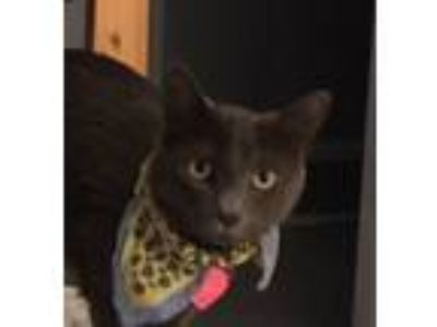 Adopt Marty a Gray or Blue Russian Blue (short coat) cat in Sherman Oaks