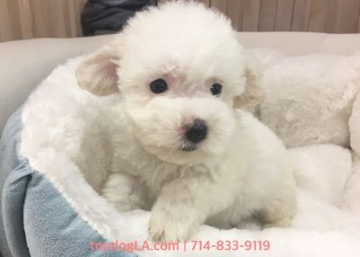 Maltipoo PUPPY FOR SALE ADN-78648 - Maltipoo female Angel