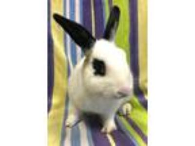 Adopt Franklin a Bunny Rabbit