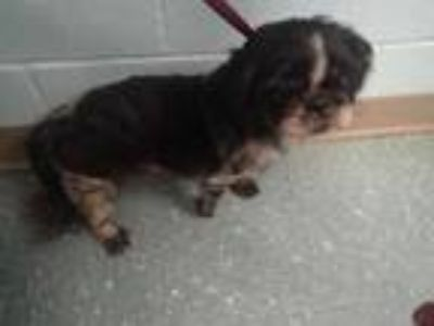 Adopt PEPPER a Black - with White Shih Tzu / Pekingese / Mixed dog in St.