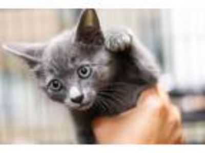 Adopt Dolce a Russian Blue