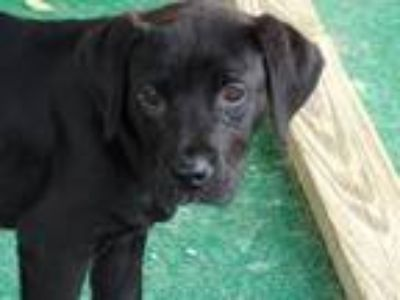 Adopt Rolo a Black Labrador Retriever / Mixed dog in Athens, AL (25288658)