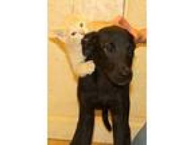 Adopt Michonne a Labrador Retriever, Doberman Pinscher