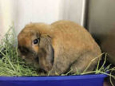 Adopt TIMMEE a Fawn Lop, Holland / Mixed rabbit in San Francisco, CA (25553313)