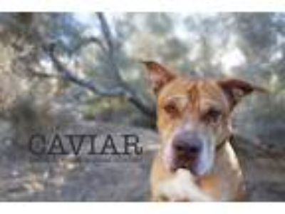 Adopt Caviar a Red/Golden/Orange/Chestnut Shar Pei / American Pit Bull Terrier /