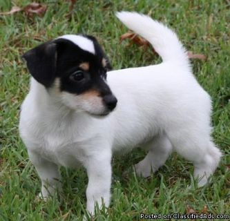 Adorable Jack Russell Terrier puppies
