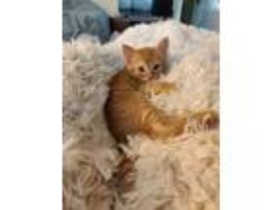 Adopt Kumquat a Domestic Short Hair, Tabby