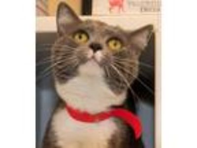 Adopt Bessie - PETSEN$E and FREE Gift Bag a American Shorthair