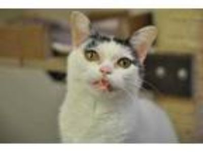 Adopt Franny a White Domestic Shorthair / Domestic Shorthair / Mixed cat in