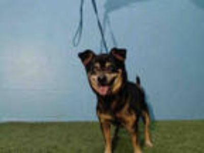 Adopt *EDGAR a Black - with Tan, Yellow or Fawn Miniature Pinscher / Mixed dog