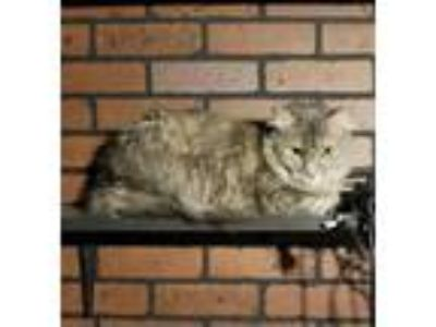 Adopt KimmyCP a Gray, Blue or Silver Tabby Domestic Mediumhair (medium coat) cat