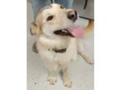 Adopt Addie a Husky / Labrador Retriever / Mixed dog in Bemidji, MN (25288558)