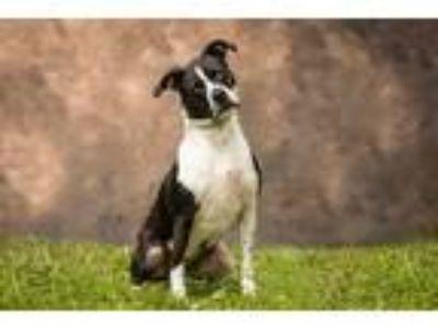 Adopt Esther a Pit Bull Terrier / Labrador Retriever / Mixed dog in Sebastian