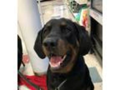 Adopt Cooper a Black and Tan Coonhound