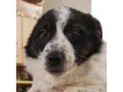 Adopt Minky a Black Border Collie / Mixed dog in Menands, NY (25892427)