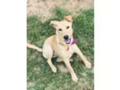 Adopt Marina a Tan/Yellow/Fawn Labrador Retriever / Mixed dog in Berkeley