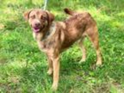 Adopt SLATE-FOSTER NEEDED! a Labrador Retriever / Hound (Unknown Type) / Mixed