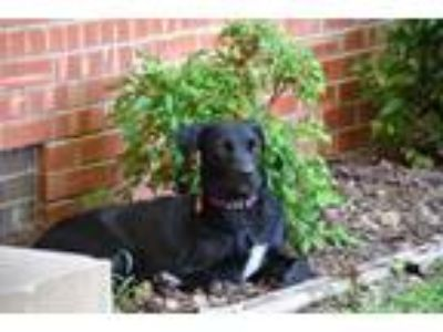 Adopt Stella a Black Labrador Retriever / Collie dog in oklahoma city