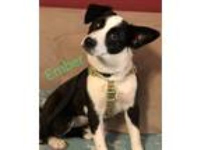 Adopt Ember a Black - with White Border Collie / Collie / Mixed dog in DeForest