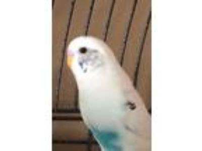Adopt Precious a White Parakeet - Other bird in Belleville, NJ (25635784)