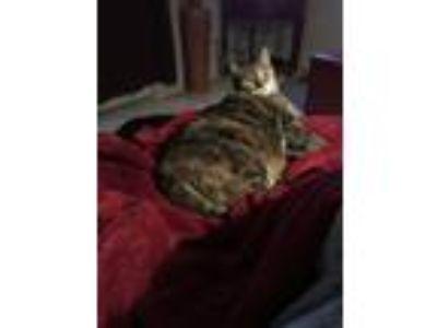 Adopt Kitty a Brown Tabby Domestic Mediumhair / Mixed cat in Phoenix