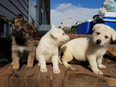 AKC White German Shepherd Puppies
